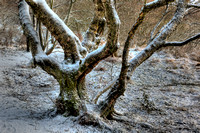 Tangled Tree by Loch Ardinning
