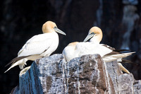 Gannets at rest
